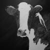Cow Portrait (Permanent Collection of  Costa Rica Embassy in NYC.) Oil on canvas 36 x 36 inches.